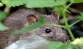 """حملة """" عسكرية """" من أجل فئران نيوزيلندا"""
