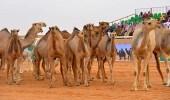 """"""" مهرجان الملك عبد العزيز """" يحقق رقم قياسي في سباق الهجن"""