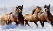علماء يكشفون سبب فقدان الخيول لأصابع أقدامها