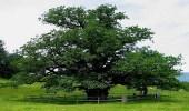 شجرة بلوط الفلين البرتغالية بعد دخولها موسوعة جينيس مرشحة للقب هذا العام