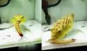 بالفيديو.. سمكة غريبة تفترس الثعابين والعقارب