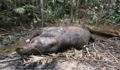 قتل فيل بطريقة وحشية لسرقة أنيابه وخرطومه