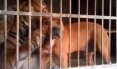 """بالفيديو..كلب ونمر يتداعبان داخل """" قفص """" واحد"""
