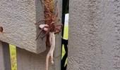 بالصور.. عنكبوت يشنق برصا ضخما قبل التهامه