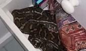 بالفيديو.. سيدة تعثر على ثعبان ضخم داخل درج الحمام