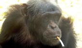 صورة لقرد مدخن تثير مواقع التواصل الاجتماعي