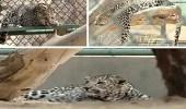 حماية الحياة الفطرية يستعرض وجود 13 نمراً لحمايتهم من الإنقراض
