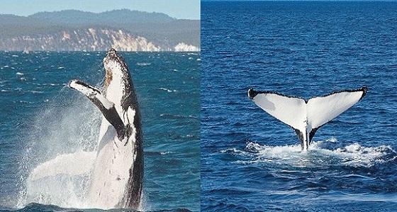 شاهد.. الحوت العملاق يسبح تحت قارب للصيد