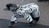 بالصور.. مسابقة لأناقة الكلاب في أكبر معرض ببريطانيا