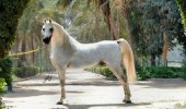 السرطان يقتل أجمل حصان في مصر بقيمة 10 ملايين دولار