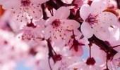 زهور الكرز تزيد الطاقة الإيجابية في الربيع