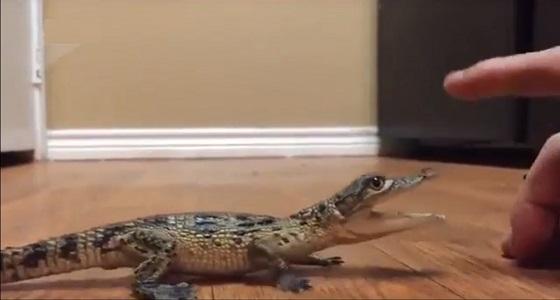 شاهد واستمع لأول مرة.. صوت صغير التمساح
