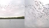 فيديو مذهل لعشراء الطيور في غطسة جماعية لاصطياد الأسماك