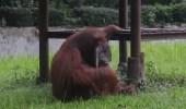 بالفيديو.. القرد المدخن في إندونسيا