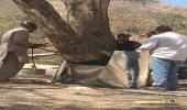 """"""" البيئة """" : إنقاذ أشجار سيال معمرة بعد أن أحرق مجهولون جذوعها"""