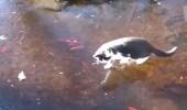 فيديو طريف لقطة تطارد أسماك ببحيرة متجمدة