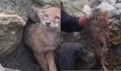 بالفيديو.. عامل ينقذ ذئبا بريا علق اسفل صخور منهاره
