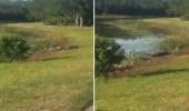 فيديو غريب لتمساح ضخم يأكل سلحفاة بملعب جولف