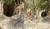 فيديو مثير لكلب يطارد فيلا حاول سرقة المحاصيل