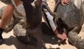 بالفيديو.. سياح ينقذون سلحفاة مائية ضخمة ضلت طريقها
