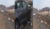 بالفيديو.. مركبة تصطدم بمجموعة من الأغنام