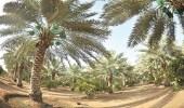 رقم ضخم لعدد أشجار النخيل بالمملكة يؤهلها أن تكون بلد صناعة التمور في العالم