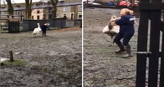 بالفيديو.. طائر ضخم يهاجم سيدة وتصده بالمجرفة