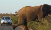 بالفيديو.. فيل يقطع الطريق لممارسة الرياضة