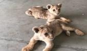 """"""" الجمارك """" تنقذ شبلين صغيرين في أحد المنافذ البرية"""