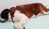 بالصور.. صدمة أطباء بعد فتح بطن كلب