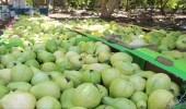 """"""" الغذاء والدواء """" ترفع الحظر على استيراد الجوافة المجمدة والمصنعة من مصر"""