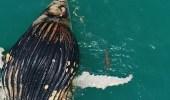 بالفيديو.. لحظة تغذى تماسيح وأسماك قرش على جثة حوت نافق
