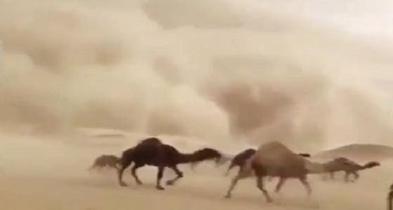 بالفيديو.. قطيع إبل يفر هربا من عاصفة رملية ضخمة