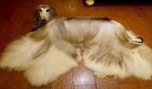 بالفيديو.. إنفاق 1000 جنيه إسترليني شهريا على الكلب الأكثر أناقة في العالم