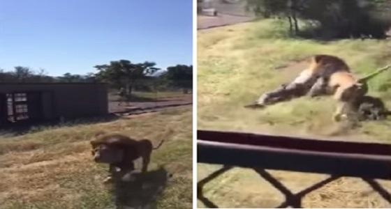 بالفيديو.. أسد جائع يحاول افتراس صاحب محمية حيوانات