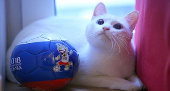 القط أكيليس.. أيقونة التوقع في مباريات مونديال روسيا