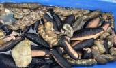 ضبط كمية كبيرة من خيار البحر المحظور صيده بأملج
