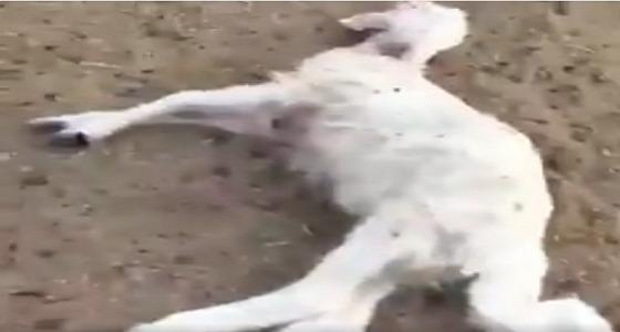 بالفيديو..لليوم الثالث على التوالي كلاب تفترس الأغنام بنجران