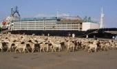 منع دخول 27 ألف رأس من الماشية الصومالية لإصابتها بحمى الوادي المتصدع