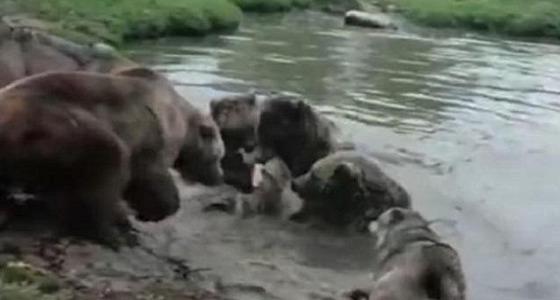 بالفيديو.. 4 دببة يقتلون ذئبا بطريقة وحشية أمام زوار حديقة حيوان