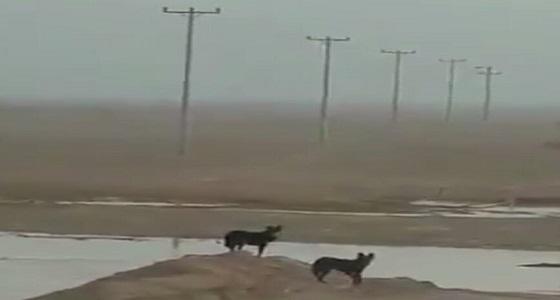 بالفيديو.. ذئبان يتجولان في روضة نورة شمال الرياض