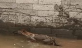 بالفيديو.. ذئب داخل خزان مياه يفاجئ مواطن بالدوادمي