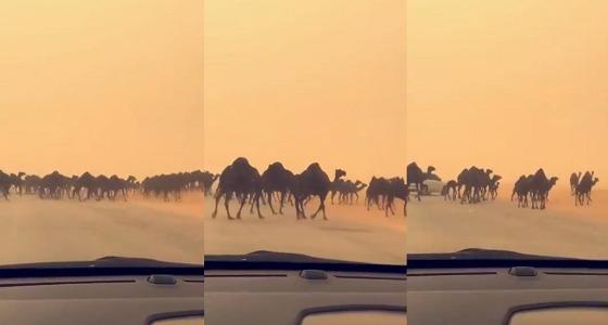 بالفيديو.. مجموعة هائلة من الإبل تقطع الطريق السريع بين الرياض والدمام
