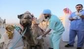بالصور.. العيادة البيطرية تعالج 89 جمل بميادين هجن الجنادرية
