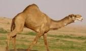 قضمة جمل تكسر جمجمة راعيه بعفيف كحالة رابعة خلال أسبوعين