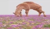 بالفيديو.. صحراء بنفسجية بالمملكة.. والمصور يعلق