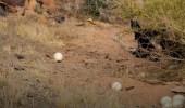 بالصور.. نعام محمية شرعان يبدأ في وضع البيض