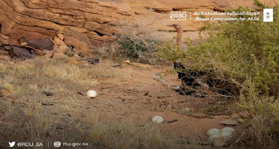 الهيئة الملكية بالعلا تعلن نجاح مشروع محمية شرعان الطبيعية بعد وضع النعام للبيض