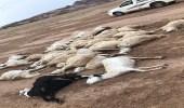 نفوق 33 رأسًا من الأغنام إثر صاعقة رعدية بمحافظة عفيف