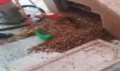 بالفيديو.. توقف مراوح مظلات المسجد النبوي بسبب الجراد